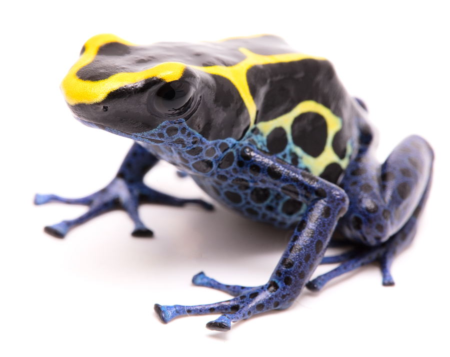 blue yellow deying poison dart frog electric city aquarium scranton pa